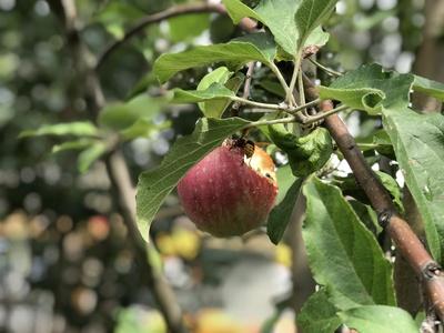 Wespe verspeist Apfel