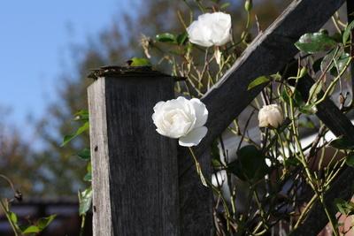 Die letzten Rosen im November