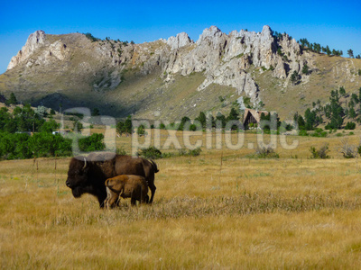 Bueffel im Yellowstone Nationalpark, USA