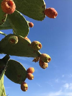 Kaktus mit Frucht auf Sizilien