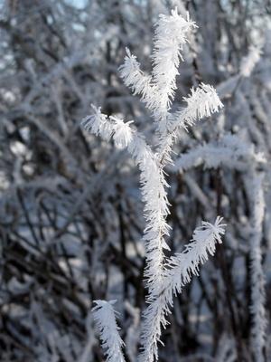 Rauhreif umhüllt die Halme im Winter