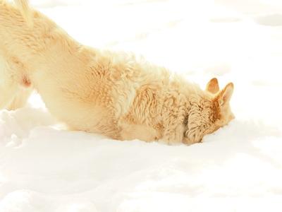 huskys element