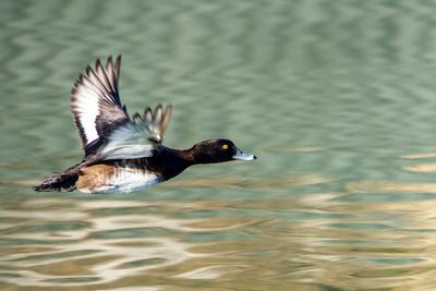 Flug-Ente_2