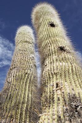 Chile: Kaktus in der Atacama-Wüste