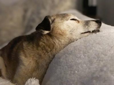 hund klein schlafend