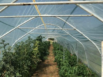 Blick in ein Gewächshaus vor der Ernte
