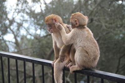 Die Affen auf Gibraldar
