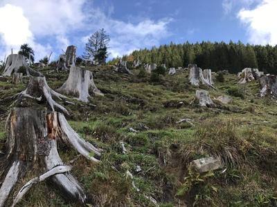 Baumstümpfe in den Alpen / Foto: Alexander Hauk