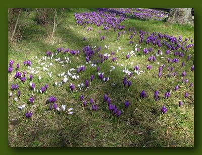 Frühling lässt sein lila Band flattern