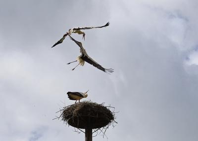 luftkampf um das nest