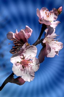 pfirsichblüten2