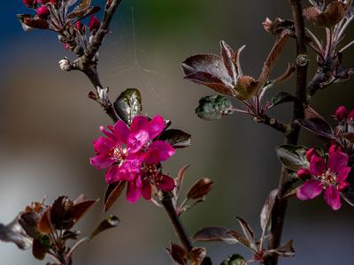 Rote Apfelblüte_2