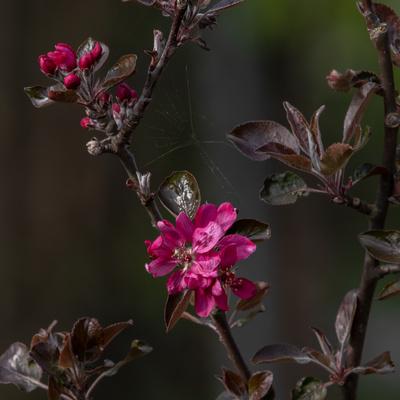 Rote Apfelblüte_3