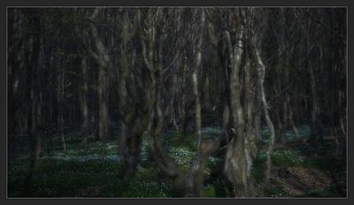 Anemonen im Küstenwald