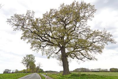 mein freund der alte straßenbaum im frühlingskleid