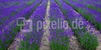 Lavendel-Perspektive