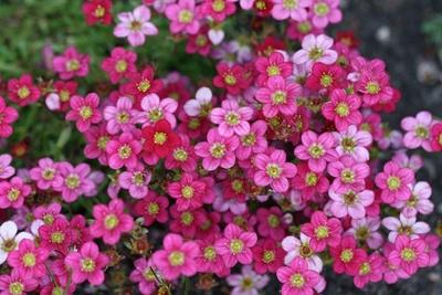 Lauter kleine rosa Blüten