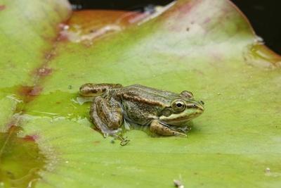kleiner Frosch auf Seerose