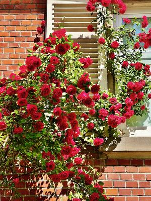 Hauswand mit Rosen