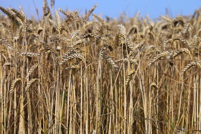 Getreidefeld vor der Ernte