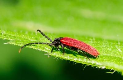 Kleiner Rotdeckenkäfer_2