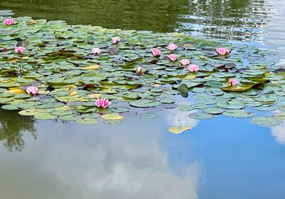 Rosa Wasserrosen im Teich