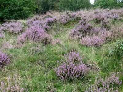 Heide in dem Naturschutzgebiet Nordoe
