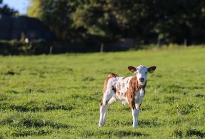Ein Kälbchen auf der Weide