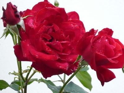 Schöne  Rosen